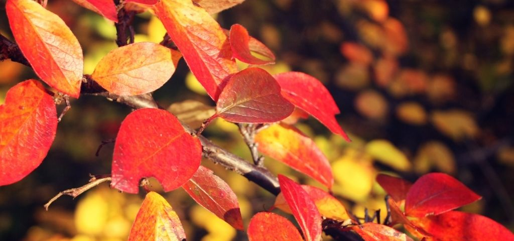 Fall colors of the serviceberry plant/tree in Colorado.