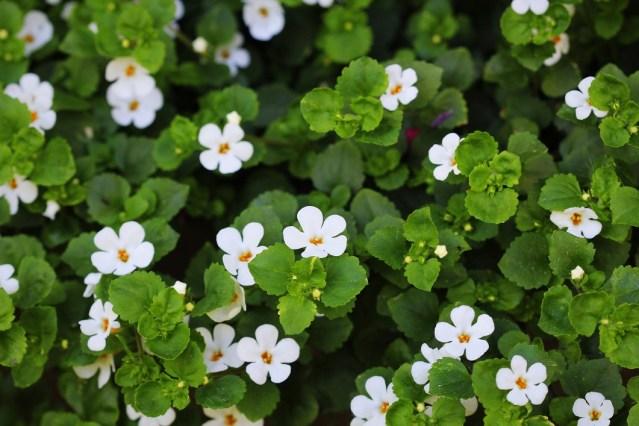 Bacopa Monnieri - билка с цвят