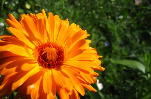 orange chrysanthemum bloom