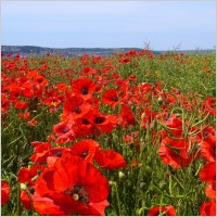papaver_rhoeas_poppy_field_221681
