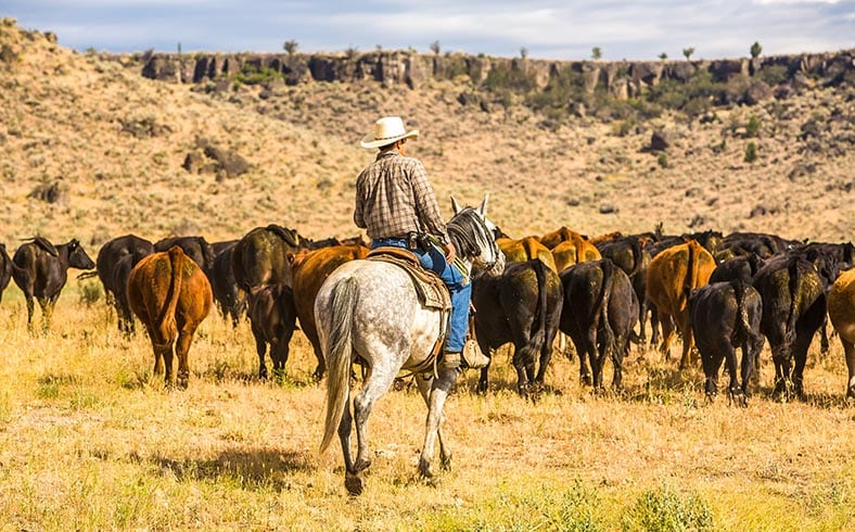 cowboy herding cattle on ranch in Paulina, Oregon