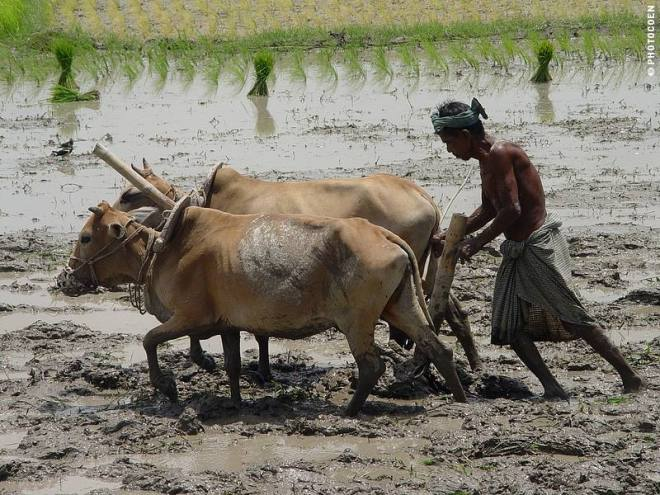 Planting Rice in Bangladesh (©photocoen)