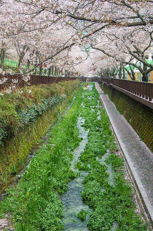 Yeojwacheon Stream in Jinhae.