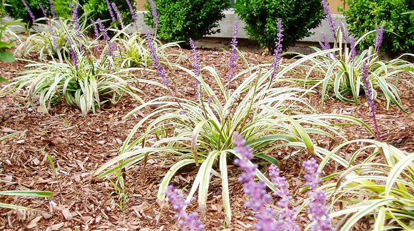 Liriope muscari 'Variegata' – A Colorful Groundcover for Connecticut Gardens