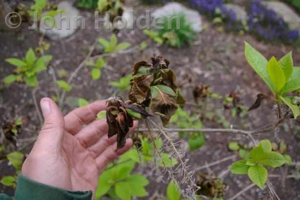 Clethra barbinervis Japanese Clethra Frost Damage