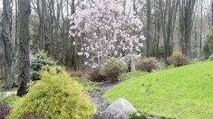 Chamaecyparis and Magnolia