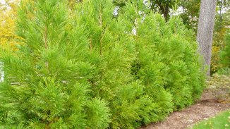 Yoshino Japanese Cryptomeria Screening Planting