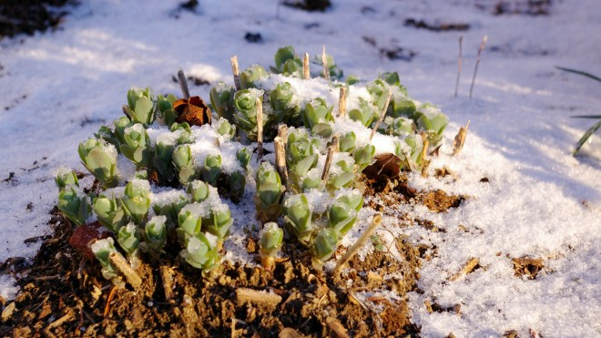 Sedum Buttons In Snow