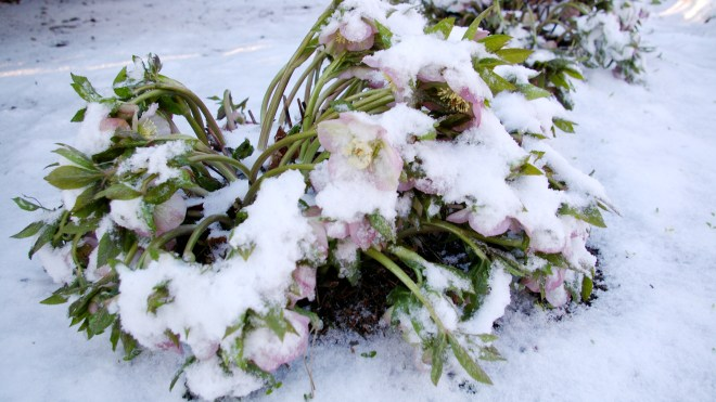 Lenten Rose in Snow