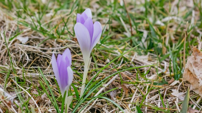 Crocus In Lawn