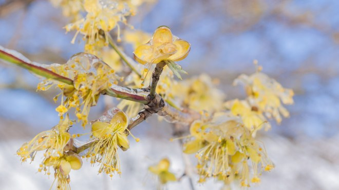 Japanese Cornel Dogwood (Cornus officinalis) on Ice