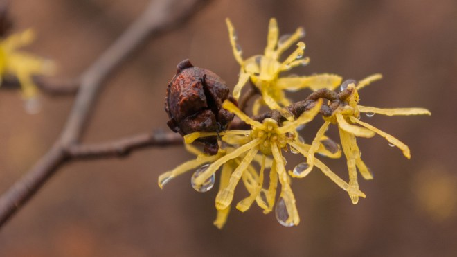 Common Witch Hazel Flower Closeup - Hamamelis virginiana
