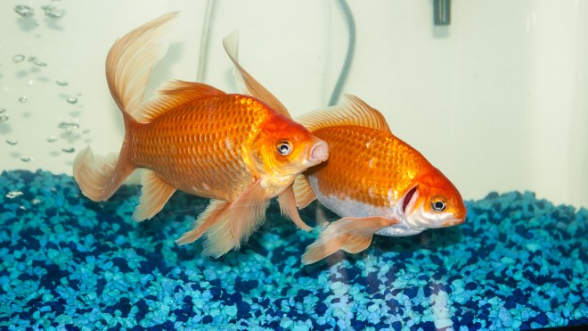 Shimmer and Zoomer Goldfish