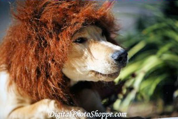 derby_lion_closeup1-300x200