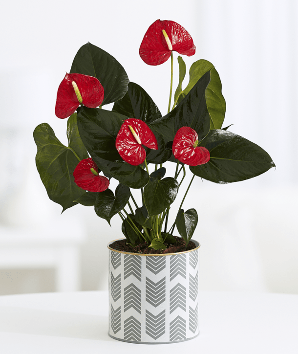 Anthurims | Pro Flowers