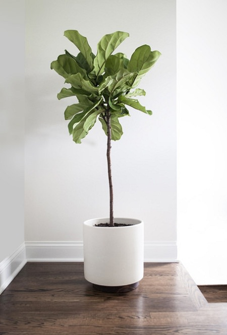 Fiddle Leaf Fig Care | Balcony Garden Web