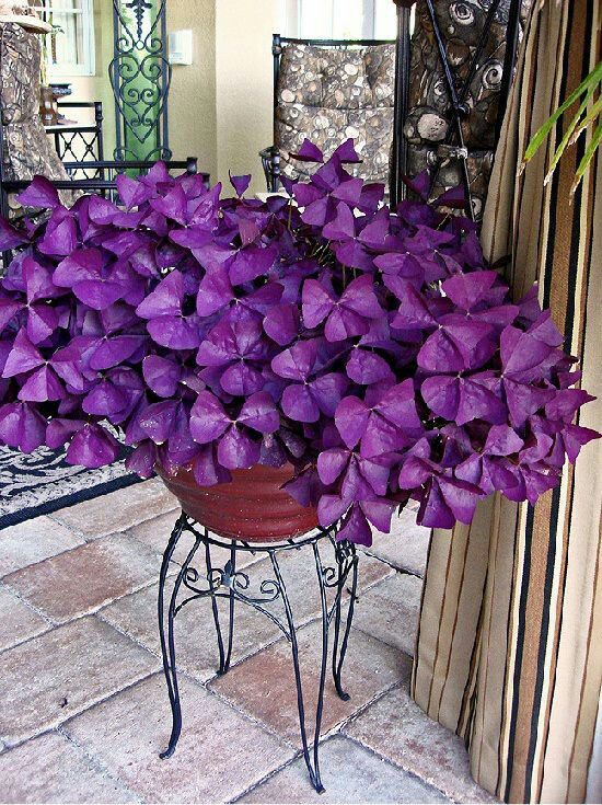 Oxalis Purple Clover | Pinterest (hehe)