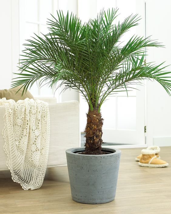 Pygmy Date Palm | Fast Growing Trees