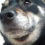 柴犬キター!!!! 狼に一番近い犬、それは、し・・ば・・け・・ん・・!!