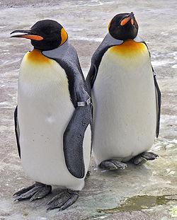 250px-Penguins_Edinburgh_Zoo_2004_SMC