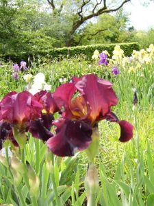 rote Iris