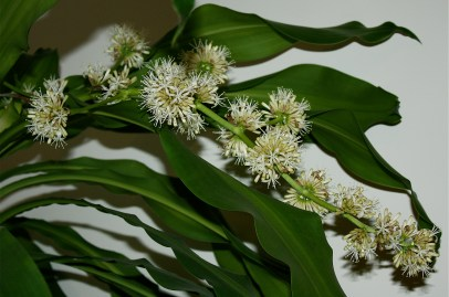 Dracaena_fragrans_flow