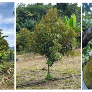 3.5 Acres Karak Orchard for Sale