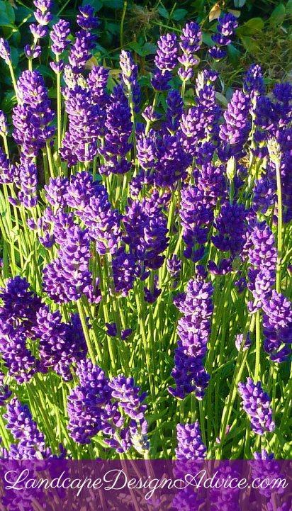 perennial flowers stunning