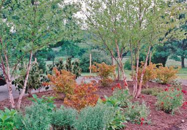 river birch tree heritage tips