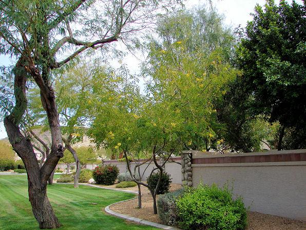 Cascalote Tree Arizona Plant Guide Xeriscape Plant