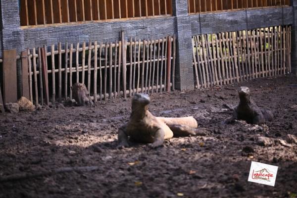 komodo d2 29 - Komodo Day 2 : Bertemu Komodo di Rinca