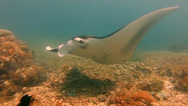 komodo-manta-ray