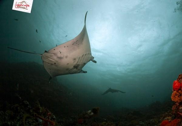 komodo 100 manta alley 06 - Komodo Diving Log Day 100 : Menjajaki Selatan (bagian 1)