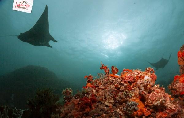 komodo 100 manta alley 13 - Komodo Diving Log Day 100 : Menjajaki Selatan (bagian 1)