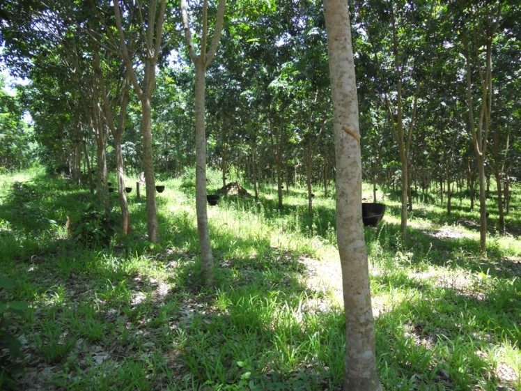 Rubber plantations increased household income and, in some cases, were used as a way to stop the company from taking land. When farmers mimicked the type of land use applied by the rubber company, the company then felt obligated to compensate for the land and the existing rubber investments. The district government would also prevent land concessions because farmers' rubber plantations are a source of land tax. Diana Suhardiman/IWMI.
