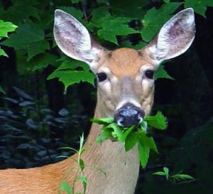 Deer-Eating