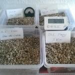 Schildkröteneier in Vermiculite im Brutkasten