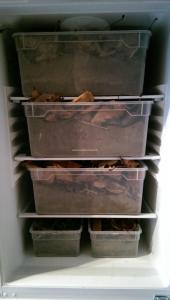Winterstarre unserer Schildkröten im Kühlschrank