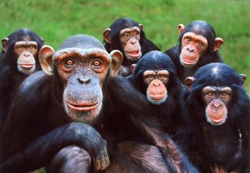 Hallan alzheimer en chimpancés