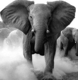 250xNxelephant-facts-1.jpg.pagespeed.ic.WNRf3VfV2W