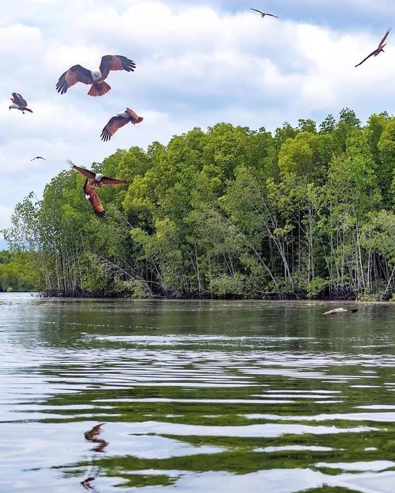 Langkawi-mangrove-tour-eagle feeding