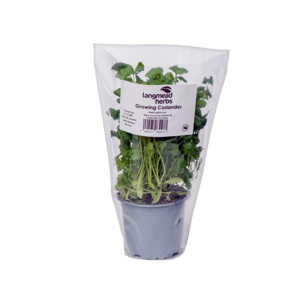 Potted Coriander (with Sleeve)