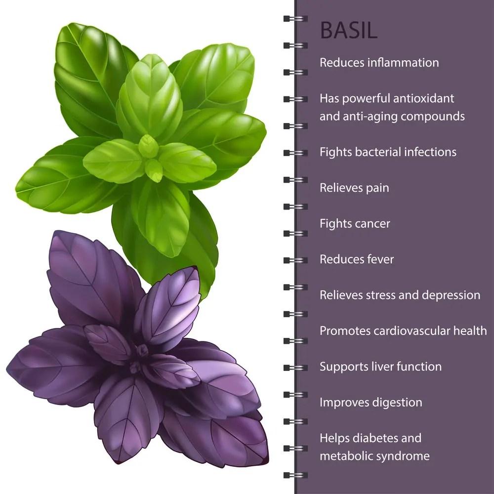 Basil herb leaves health benefits