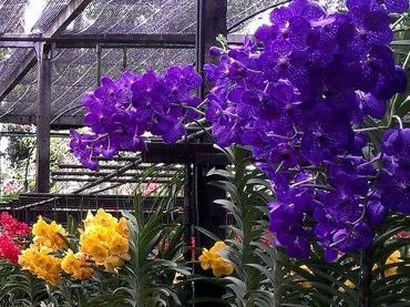 Orchid farm, Chiang Mai
