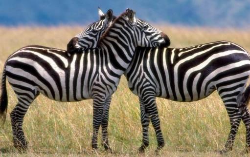 Zebre animali