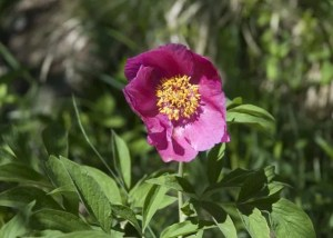 il fiore della peonia