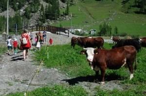 Mucche al Pian della Mussa