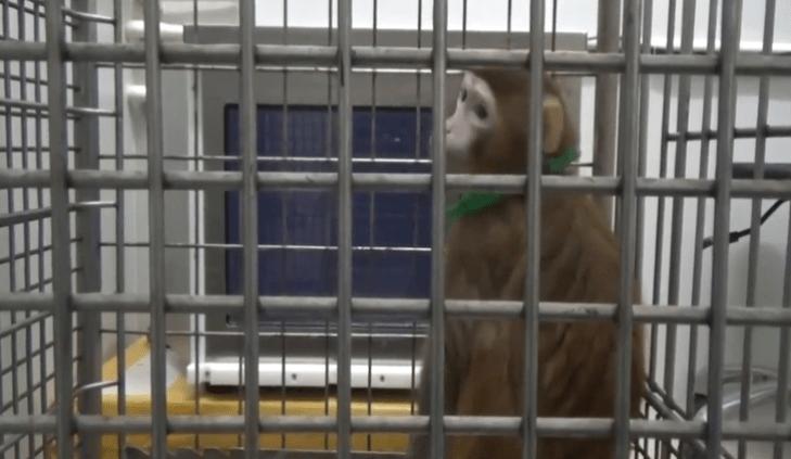 ¿Monos con genes humanos? (+videos)