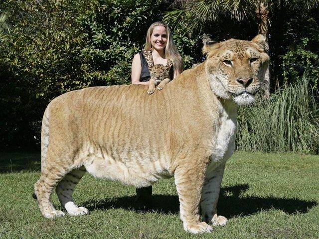 El felino más grande del mundo no es tigre ni león
