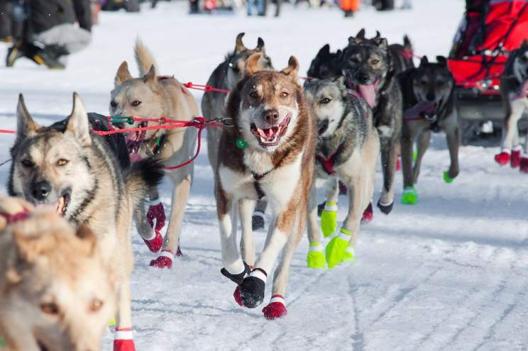 Sled Dogs Running the Iditarod. Everything you need to know about the best things to do in Fairbanks, Alaska from visiting Pioneer Park, the best time to see the Midnight Sun, the Northern Lights (aurora borealis), the Museum of the North, Santa Claus House, Running Reindeer Ranch and the best places to stay from Wedgewood Resort to Pike's Landing hotel.